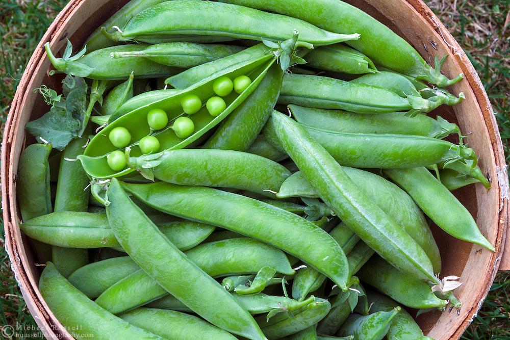 A bushel of organic peas (Lincoln Homesteader variety) freshly picked from a backyard vegetable garden