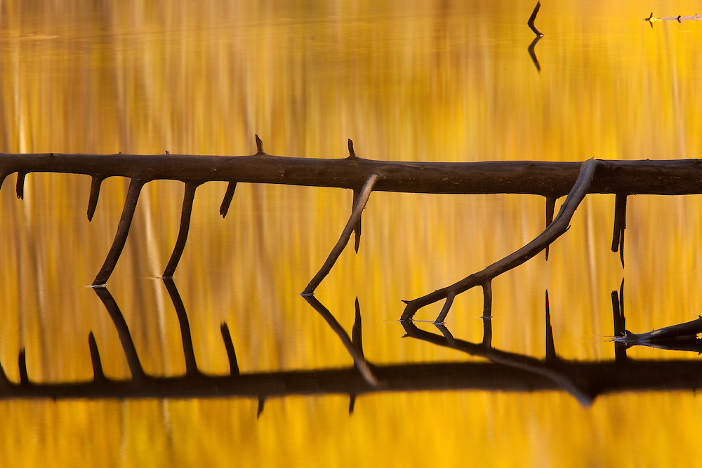 fallen tree reflection in a pond near the base of el capitan in yosemite national park, california.