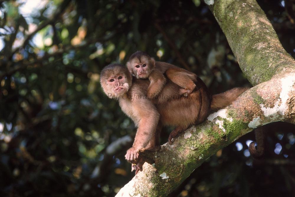 White-fronted capuchin with baby<br />Cebus albifrons<br />Amazon Rain Forest, ECUADOR   South America<br />RANGE: N Colombia, Venezuela, coastal Ecuador, Amazon basin of Colombia, Ecuador, Peru, Bolivia & West Brazil