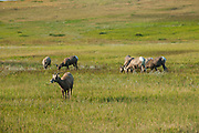 White-tailed deers, Badlands National Park, South Dakota, USA