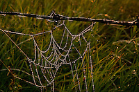 Dewdrops on a spiderweb hanging off a barbed-wire fence...©2009, Sean Phillips.http://www.Sean-Phillips.com