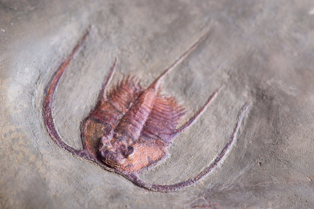 Bristolia insolens (sagittal length: 28mm; total length: 54mm) is a rare species of one of the most spectacular redlichiid genera from the Lower Cambrian of the western US.