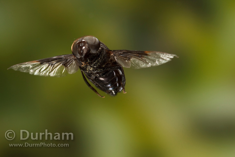 A large mexican cactus fly (Copestylum mexicana) - a member of the hoverfly family (Syprhidae.) - in flight, Texas.