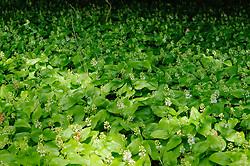 Dalkruid, Maianthemum bifolium