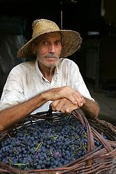Seu Ernesto Possamai durante a colheita da Uva, no municipio de Bento Gonçalves, serra gaucha.FOTO: Jefferson Bernardes/Preview.com