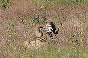 Mature Bighorn Sheep Ram Bedded in Open Habitat