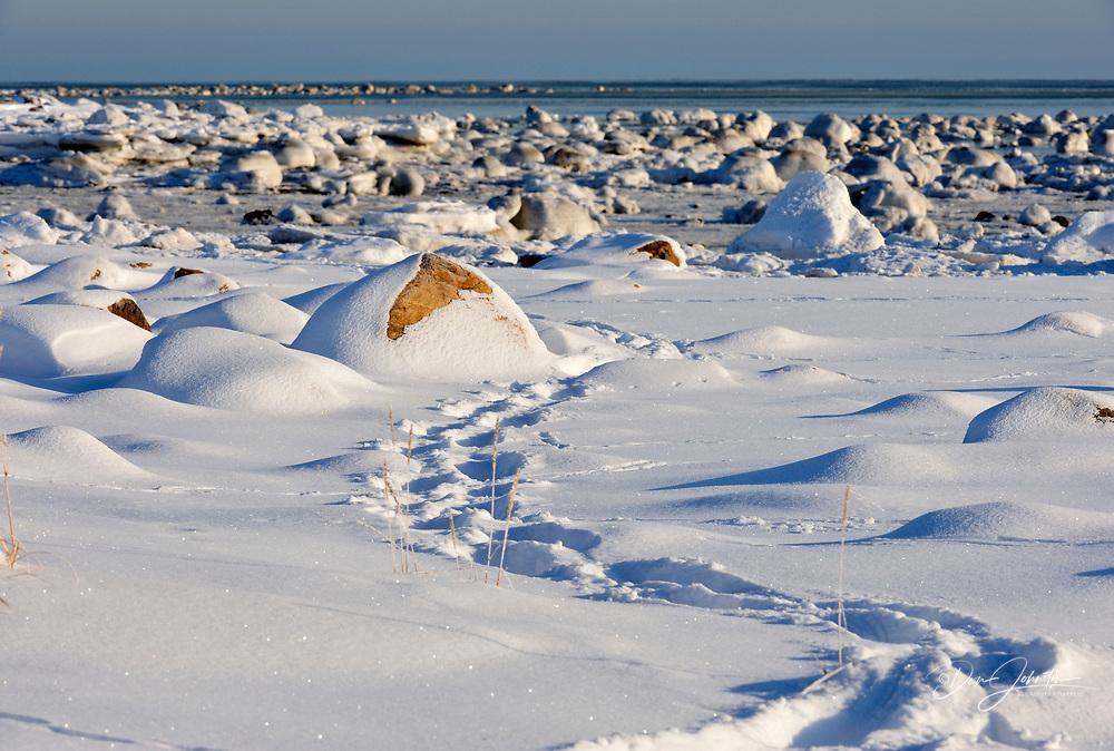 Polar bear tracks in the snow along Hudson Bay shoreline in early winter, Seal River Heritage Lodge, Churchill, Manitoba, Canada