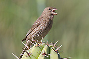 Female House Finch stands on a cactus and calls.(Carpodacus mexicanus).Irvine,California