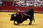 Europe, Spain, Sevilla. Corrida. Bull is killed during bullfight.1998.'MEAT' across the World..foto © Nigel Dickinson