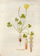 Woodsorrel (Oxalis fallax). Illustration from 'Oxalis Monographia iconibus illustrata' by Nikolaus Joseph Jacquin (1797-1798). published 1794