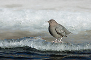 American dipper in mountain stream during winter in Wyoming