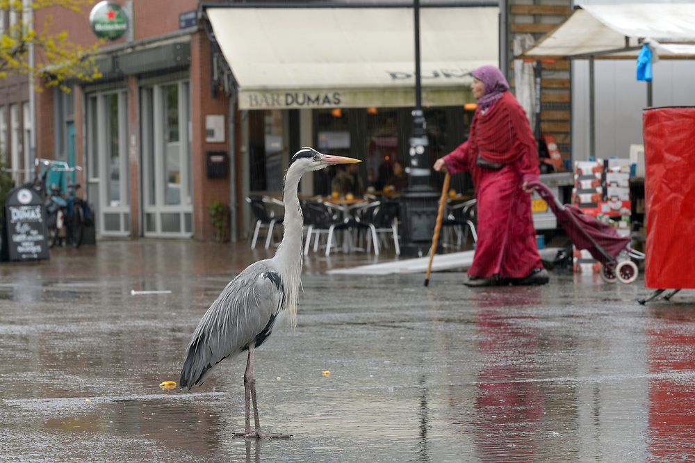 Grey Heron ( Ardea cinerea). Amsterdam, Netherlands. April 2018. Heron congregate around the fish stalls as city markets are closing, picking up scraps of food.