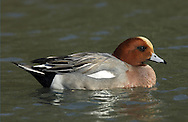 Wigeon (male) Mareca penelope. L 45-47cm. Males are colourful and attractive. Forms large flocks outside breeding season. Sexes are dissimilar. Adult male has mainly orange-red head with yellow forehead. Breast is pinkish; rest of plumage is mainly finely marked grey except for white belly and black and white stern. In flight, has white patch on wing. Bill is pale grey and dark-tipped. In eclipse, resembles an adult female although white wing patch is still evident. Adult female is mainly reddish brown, darkest on head and back. Note, however, the white belly and stern. In flight, lacks male's white wing patch. Bill is grey and dark-tipped. Juvenile resembles adult female. Voice Male utters evocative wheeeoo whistle.