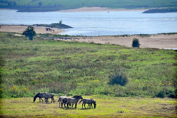 Nederland, Doornenburg, 2-9-2012Konikpaarden staan in de uiterwaarden van het pannerdens kanaal. De Konik leeft in kuddeverband. De wilde paarden zijn uitgezet in natuurgebieden door heel Nederland en doen het goed.Foto: Flip Franssen/Hollandse Hoogte