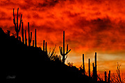 Saguaro cactus (Carnegiea gigantea) stand tall near a hill summit, silhouetted as the sun sets in the Arizona desert.  The Saguaro cactus can grow 50-feet-tall, is composed of 85% water, and can weigh over 8 tons.  They are the largest member of the cactus family in the United States. Their skin is smooth and waxy with stout, 2-inch spines clustered on their ribs. The outer pulp can expand like an accordion when water is absorbed, increasing the diameter of the stem and raising its weight by up to a ton.  <br /> <br /> The Saguaro generally takes 47 to 67 years to attain a height of 6 feet, and can live for 150 – 200 years.  During that lifetime, a single cactus will produce 40 million seeds; however, in its harsh native environment, only one of these seeds will survive to replace the parent plant.  Indeed, young Saguaro's must start life under a tree or shrub to prevent them from desiccating.