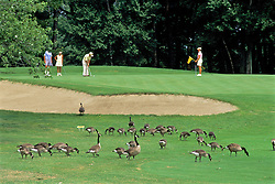 Canadian Geese On Golf Course