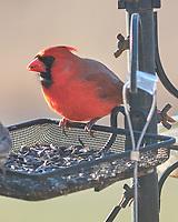 Northern Cardinal (Cardinalis cardinalis). Image taken with a Fuji X-H1 camera and 200 mm f/2 lens + 1.4x teleconverter.