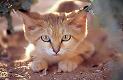 Sand Cat (Felis margarita), also known as the sand dune cat, is the only felid found primarily in true desert. Photographed in Israel in the Arava Desert.
