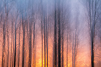 An abstract image of light from the setting sun filter through a maple grove.