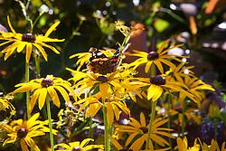 Butterfly on Rudbeckia fulgida var. deamii