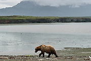 A large brown bear boar known as Ears walks along the beach at the McNeil River State Game Sanctuary on the Kenai Peninsula, Alaska. The remote site is accessed only with a special permit and is the world's largest seasonal population of brown bears in their natural environment.