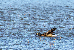 Canadian Geese (Branta Canadensis) floating on blue water in late winter at Emiquon National Wildlife Refuge near Lewistown in Fulton Co Illinois