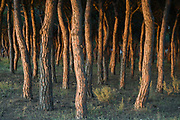 Pine Trees (Pinus sp.)<br /> Doñana National & Natural Park. Huelva Province, Andalusia. SPAIN<br /> 1969 - Set up as a National Park<br /> 1981 - Biosphere Reserve<br /> 1982 - Wetland of International Importance, Ramsar<br /> 1985 - Special Protection Area for Birds<br /> 1994 - World Heritage Site, UNESCO.<br /> The marshlands in particular are a very important area for the migration, breeding and wintering of European and African birds. It is also an area of old cultures, traditions and human uses - most of which are still in existance.<br /> <br /> Mission: Iberian Lynx, May 2009<br /> © Pete Oxford / Wild Wonders of Europe<br /> Zaldumbide #506 y Toledo<br /> La Floresta, Quito. ECUADOR<br /> South America<br /> Tel: 593-2-2226958<br /> e-mail: pete@peteoxford.com<br /> www.peteoxford.com