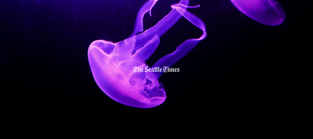Moon jellyfish drift with the current making one revolution every five minutes inside their 1,200-gallon circular tank at the Seattle Aquarium. (Alan Berner / The Seattle Times)