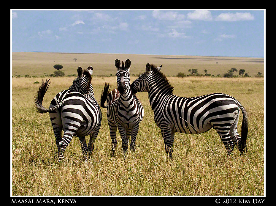 Three Zebra.Maasai Mara, Kenya.September 2012