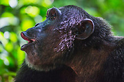 A male chimpanzee (Pan troglodyte) vocalizing, Kibale National Park, Uganda, Africa