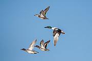 Widgeon & shovellers in flight