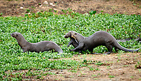 Giant River Otter (Pteronura brasiliensis) mother carries baby to safety,  The Pantanal, Mato Grosso, Brazil