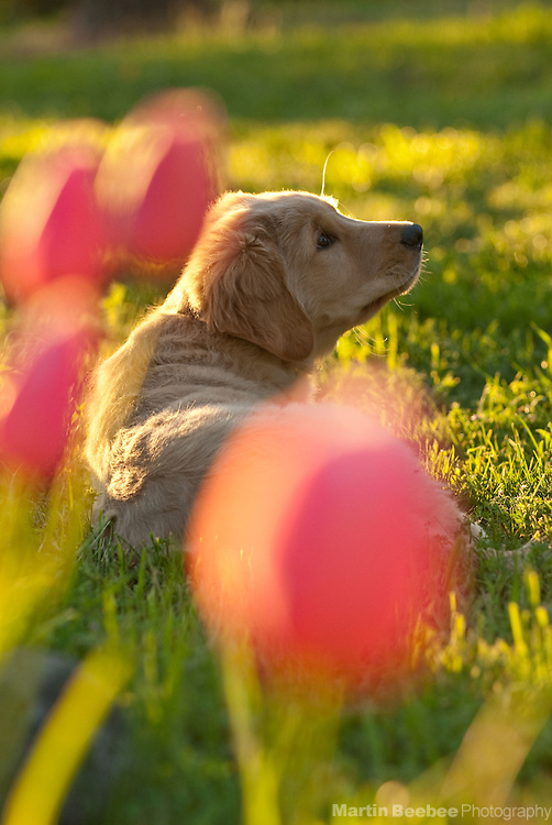 A three-month-old golden retriever puppy lies among spring flowers