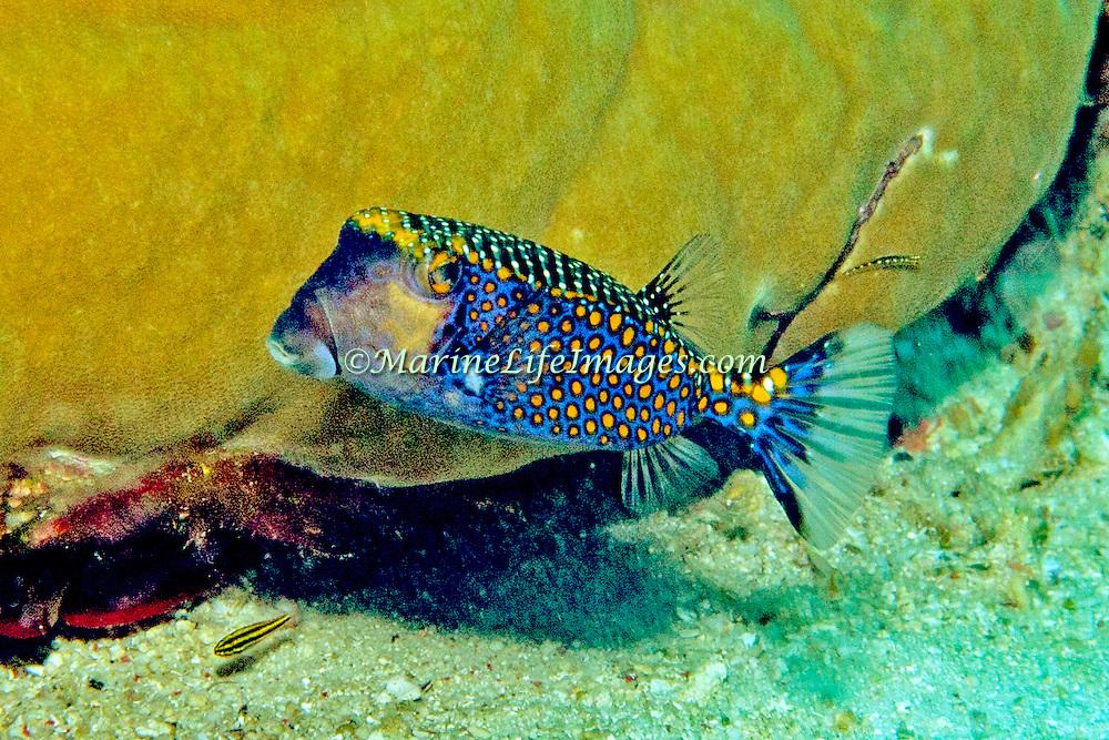 Spotted Boxfish inhabit reefs. Picture taken Fiji.