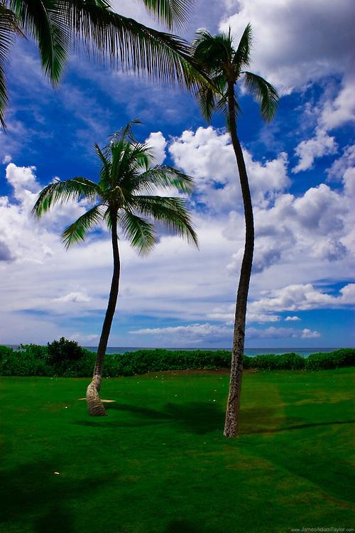 Palm trees stand with a lean on a coastal lawn, Oahu, Hawaii.