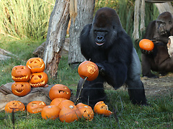 Kumbuka the silverback gorilla with a 'Donald Trump' pumpkin during a photo call ahead of Halloween, at London Zoo.