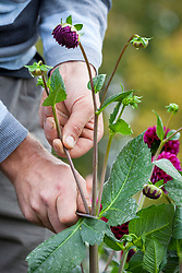 Removing dahlia buds to encourage larger flowers to form on the main stem late in the season.