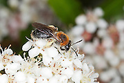 Early mining bee (Andrena haemorrhoa) collecting nectar from a Pyracantha flower.