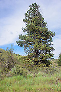 Many bird species seem to come to this ponderosa pine during the time I sat and watched.