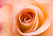 Fine art rose close-up in the spring