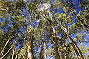 Paperbark Tea Trees, Mary Creek in the Daintree Rainforest, Australia