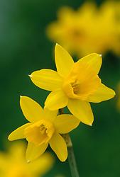 Narcissus 'Tete-a-Tete' - daffodil