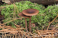 The Goblet - Pseudoclitocybe cyathiformis