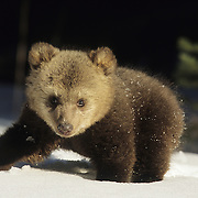 Alaskan Brown Bear cub emerging from a den. Captive Animal