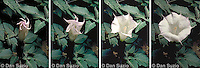 Sacred datura (jimson weed, thorn apple, angel trumpet), Datura wrightii, Mojave Desert, California. Also available: pollination by sphinx moth. Datura is a powerful and dangerous hallucinogen that has been used ceremonially by Native Americans, as well as recreationally by more recent arrivals.