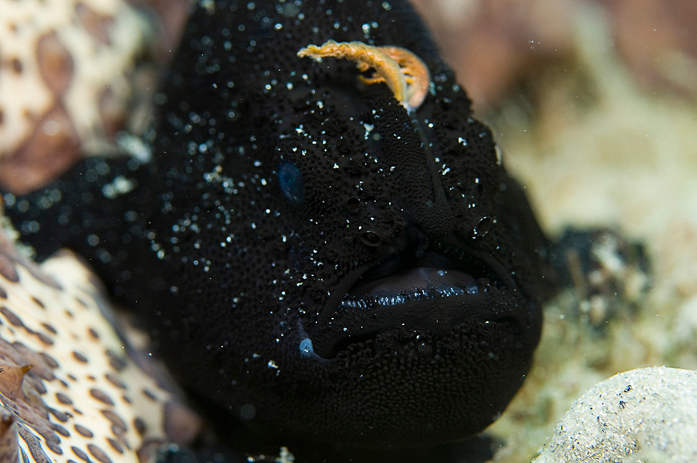 Black-phase Striated Frogfish (Antennarius striatus) photographed in the Lake Worth Lagoon near the Blue Heron Bridge in Singer Island, FL. Notice the lure, or esca, being cast to lure small food fish.