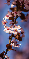 Blooming cherry blossom flowers show that Spring is upon us as the glow in the early morning sunlight.