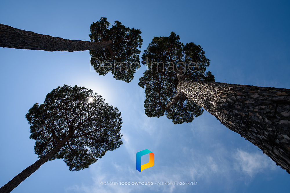 A view of trees looking up in the Forum in Rome, Italy