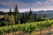 Morning light over wine vineyard in the hills along Mount Veeder Road, Napa Caounty, California