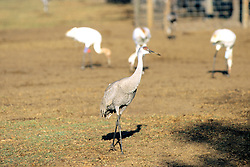 Sand Hill Crane With Whooping Cranes In Background